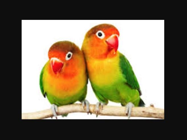 Cara Seleksi Indukan Burung Lovebird