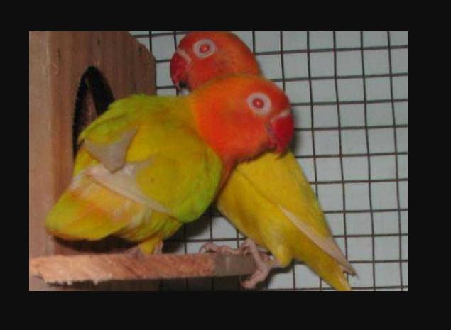Gambar Ciri ciri Burung Lovebird Lutino mata merah
