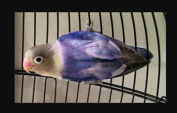 Ciri ciri Burung Lovebird Blorok Blue