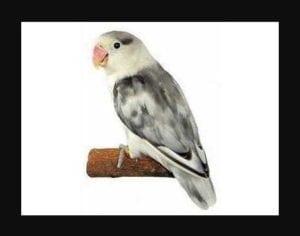Foto Burung Lovebird Blorok Hitam Putih
