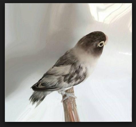 Gambar Lovebird Blorok Hitam