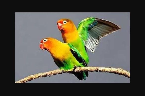 Cara Menurunkan Lovebird Over Birahi