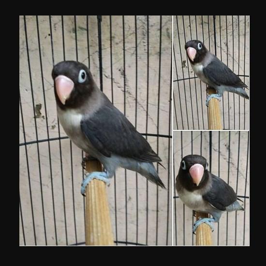 Ciri Mata Lovebird Batman
