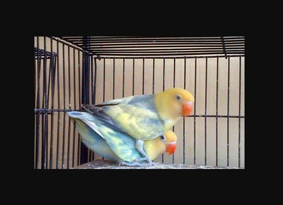 Foto Burung Lovebird Parblue Blorok Biru