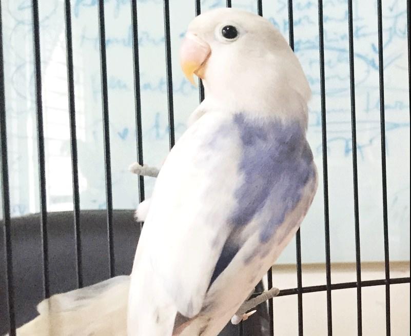 Gambar Ciri Ciri Lovebird Sable Violet Kepala Elang