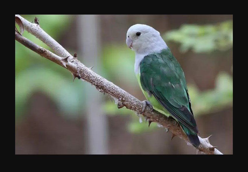 Gambar Jenis Burung Lovebird Termahal Lovebird Madagaskar