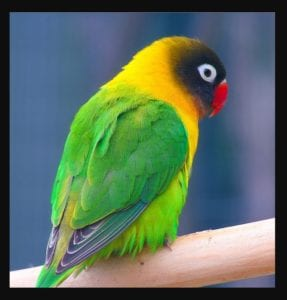 Jenis Burung Lovebird Tercantikl Lovebird Topeng Hitam