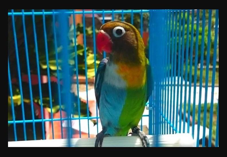 Jenis Burung Lovebird Termahal Lovebird Halfsider