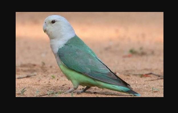 Jenis Burung Lovebird Termahal Lovebird Madagaskar
