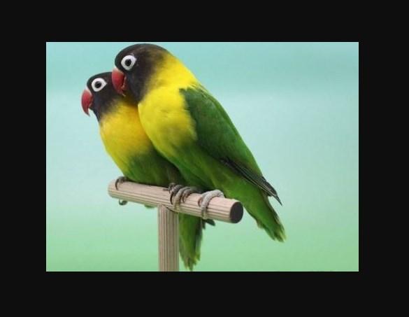 Jenis Burung Lovebird Termahal Lovebird Topeng Hitam