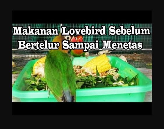 Makanan Burung Lovebird saat bertelur sampai menetas