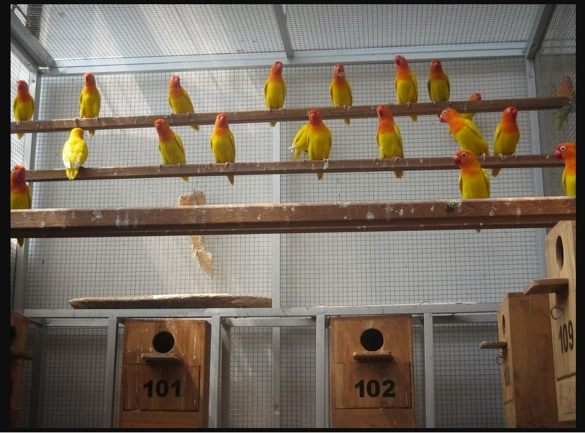 Masukan Lovebird ke kandang umbaran untuk menurunkan birahi
