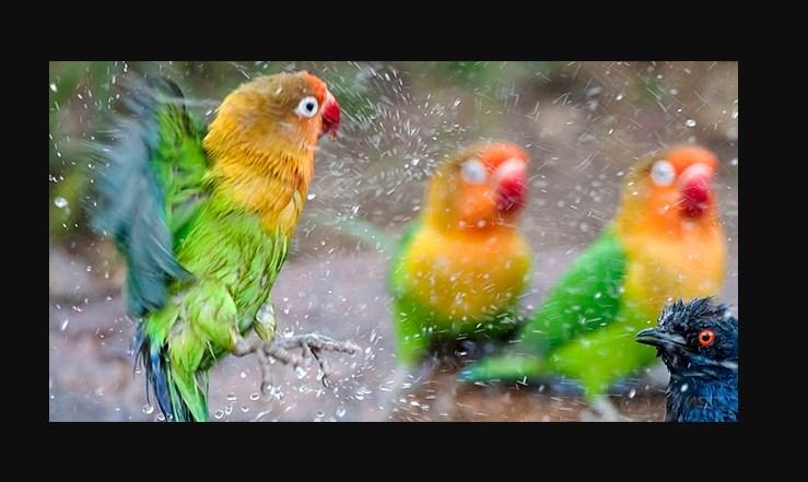 Penjemuran dan Pengembunan Lovebird