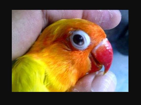 Penyakit Snot Pada Lovebird