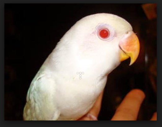 ciri ciri kepala lovebird albino mata merah