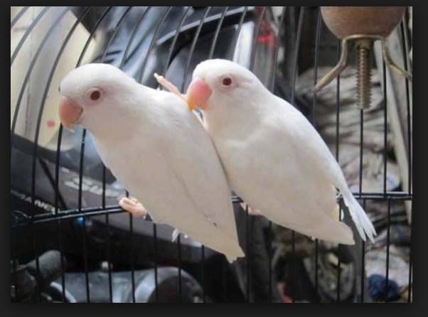 ciri ciri lovebird albino mata merah anakan