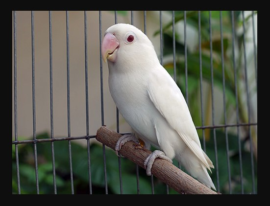 ciri ciri lovebird albino mata merah