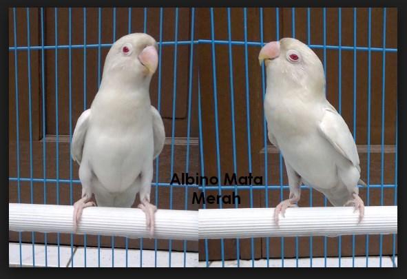 foto ciri ciri lovebird albino mata merah