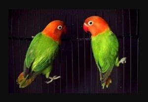 Cara Mencetak dan Menghasilkan anakan Lovebird Biola