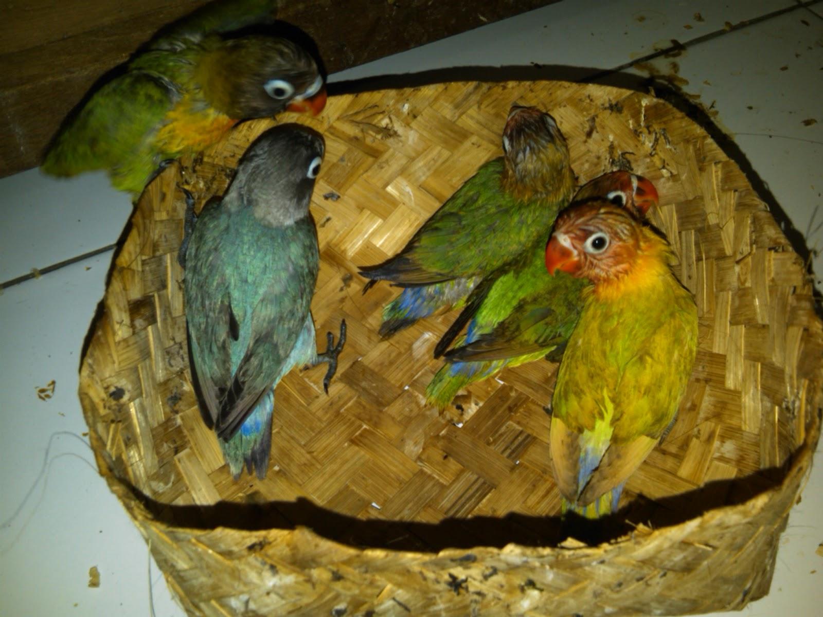 Cara Merawat Burung Lovebird usia 2 bulanan