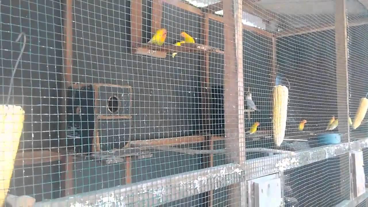 Contoh Cara membuat Kandang Koloni Ternak Lovebird sederhana