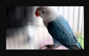 Harga Burung Lovebird Biola Blue dewasa dan anakan Terbaru