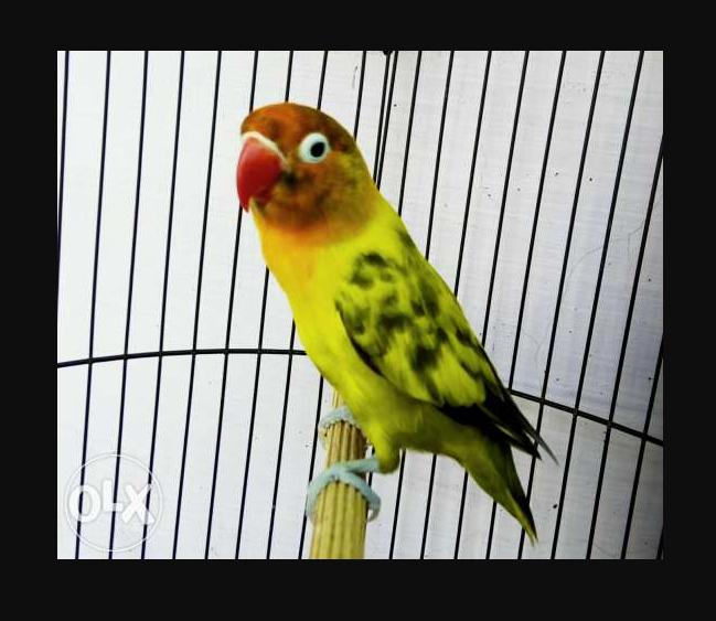 Jenis warna Burung Lovebird Blorok Kuning Hitam
