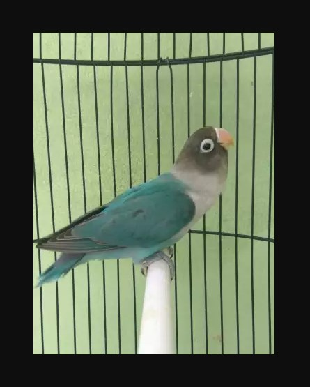 Jual Burung Lovebird cobal area Surabaya