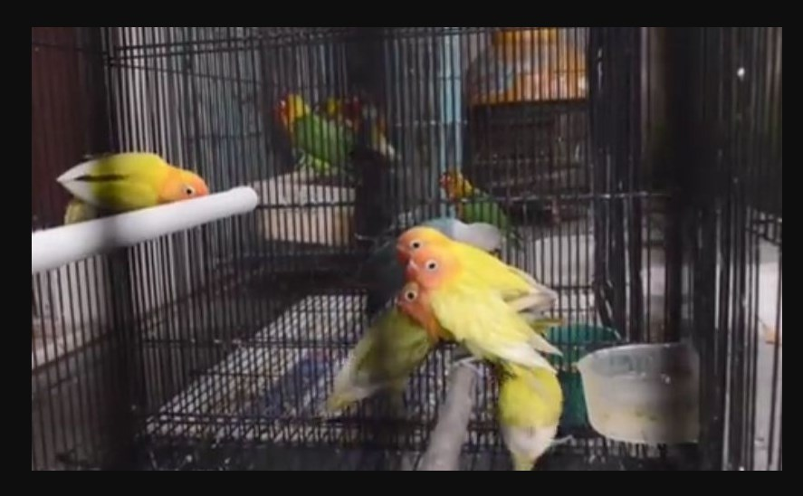Menjemur Burung Lovebird umur 2 bulan
