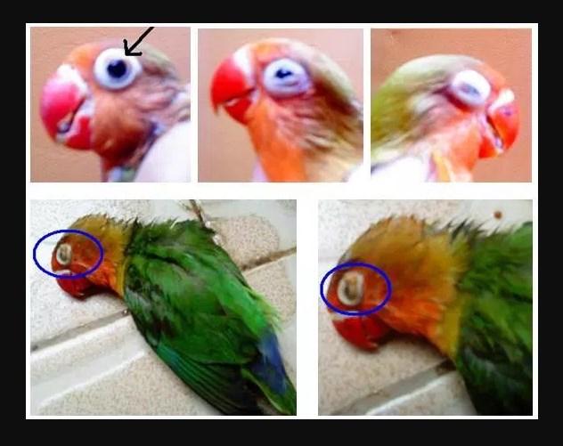 Cara Mencegah dan Mengobati Mata Snot pada Burung Lovebird