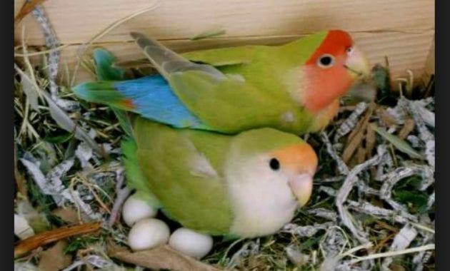 Cara Mengatasi Burung Lovebird yang macet bertelur
