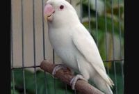 Ciri ciri Burung Lovebird Albino mata merah