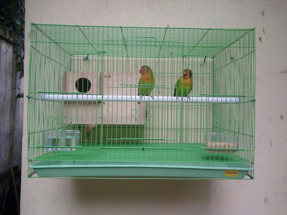 Keunggulan dan Kekurangan Kandang Baterai dalam Beternak Lovebird