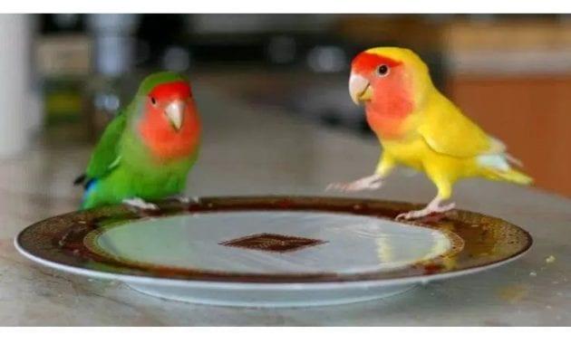 Menu makanan dan Vitamin Burung Lovebird agar ngekek panjang