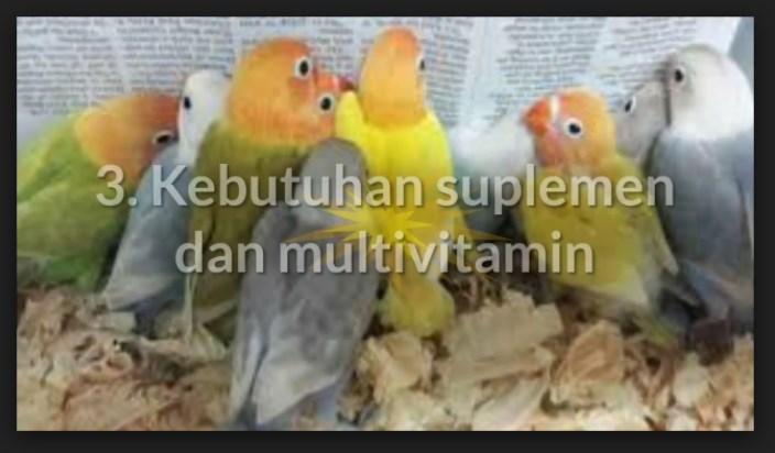 Suplemen dan Vitamin Burung Lovebird Macet Bertelur