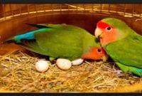 Tips Agar Lovebird Cepat bertelur yang ampuh