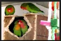 Cara mengatasi Lovebird Tidak Mau kawin