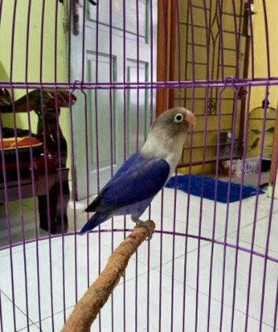 Foto burung Lovebird Violet Df