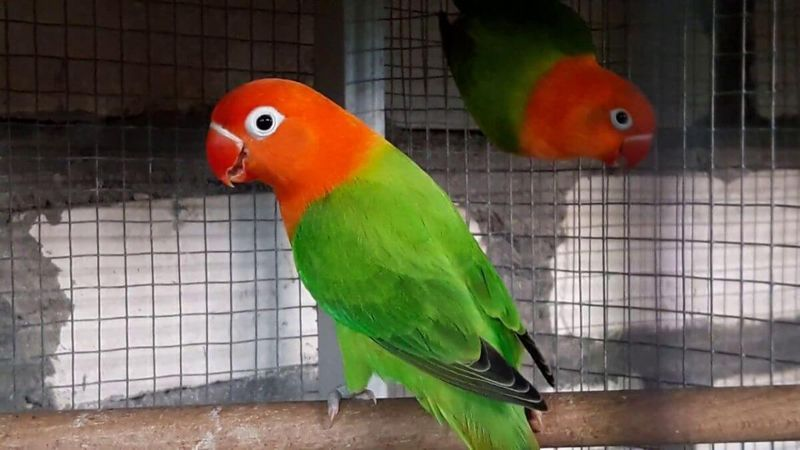 Koleksi Gambar Burung Lovebird Biola