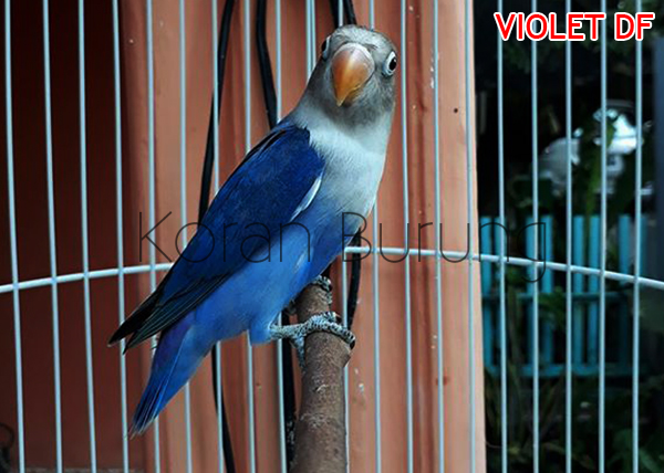 Lovebird Violet Double Factor