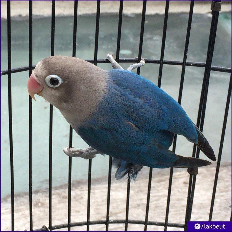 Lovebird Violet Single Factor