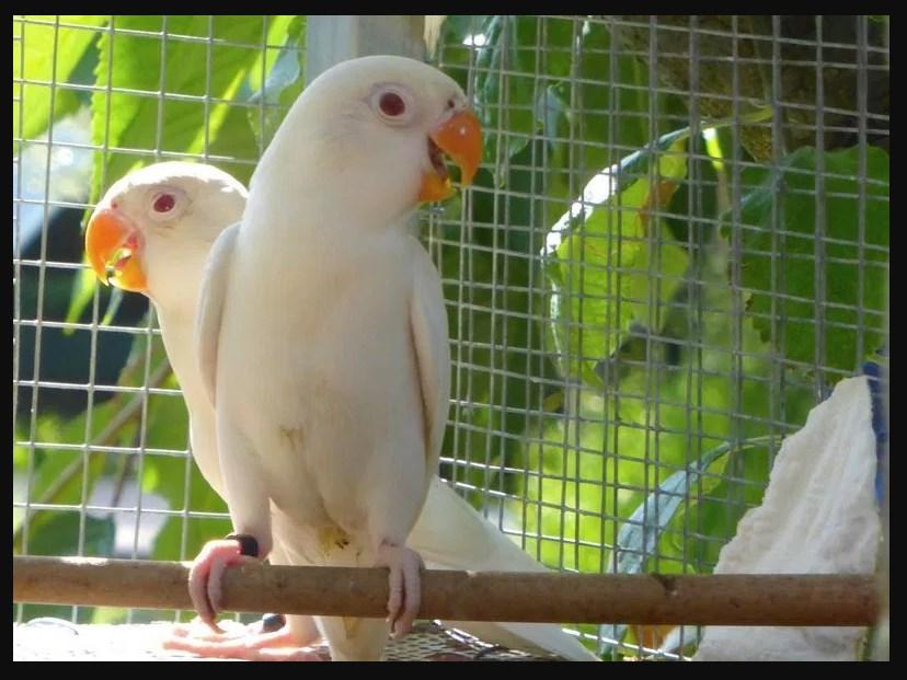 Macam Macam Jenis Burung Lovebird Termahal Paling Bagus 2018 Lovebird Albino