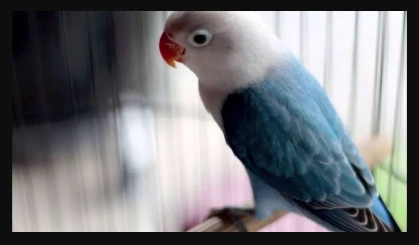 Macam Macam Jenis Burung Lovebird Termahal Paling Bagus 2018 Lovebird Biola Blue