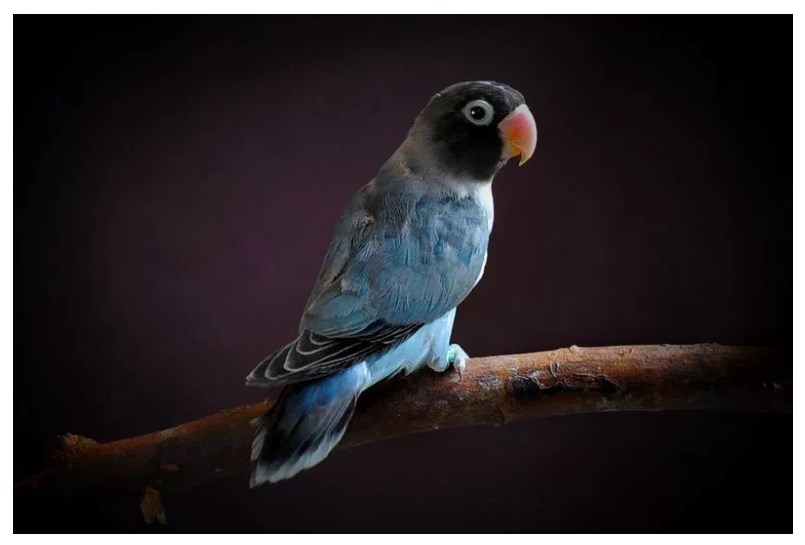 Macam Macam Jenis Burung Lovebird Termahal Paling Bagus 2018 Lovebird Cobalt
