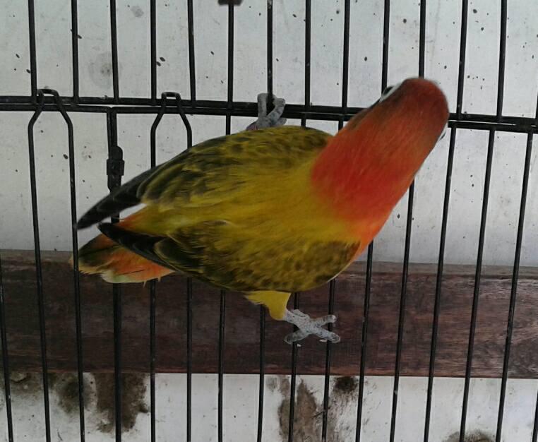 Harga Burung Lovebird Biola Euwing Terbaru