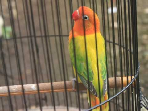 Jenis Burung Lovebird Biola Euwing Terbaru