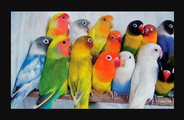 Cara Beternak Lovebird Secara Koloni