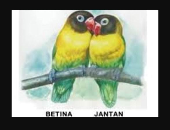 Ciri Ciri Burung Lovebird Jantan dan Betina