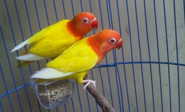 Ciri ciri Burung Lovebird Lutino mata merah