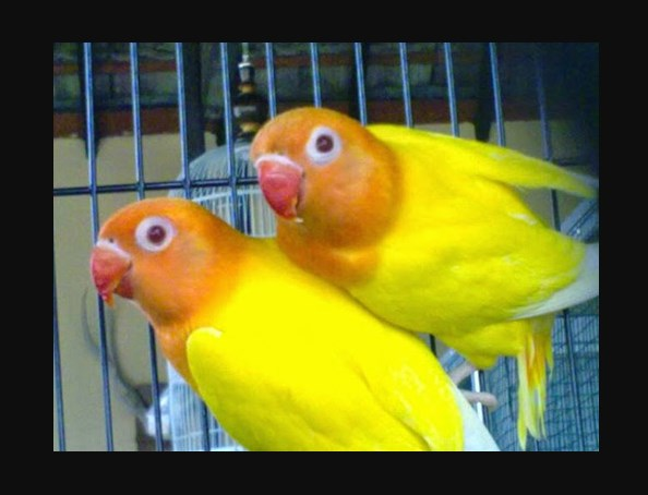 Gambar Burung Lovebird Lutino mata merah